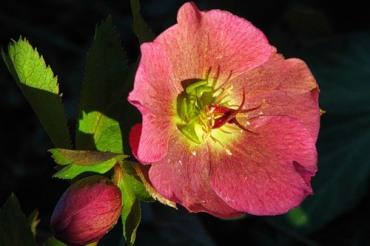 Морозник многолетние цветы